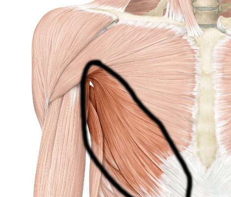 lower fibers of pectoralis major