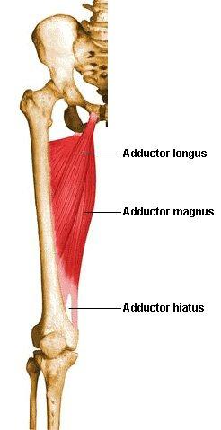 Position of Adductor Magnus