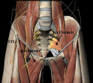showing piriformis attachment to front of sacrum.