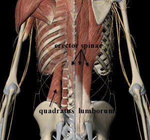 quadratus lumborum and erector spinae group.