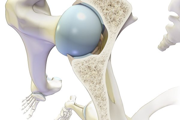 Hip Joint Cross Section