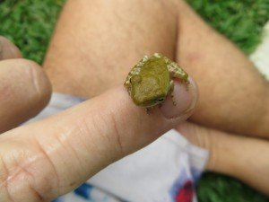 A LIttle Frog