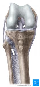 Knee flexed anterior view